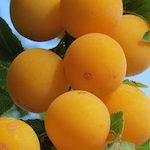 Mirabellen: Kleine Frucht, große Vielfalt