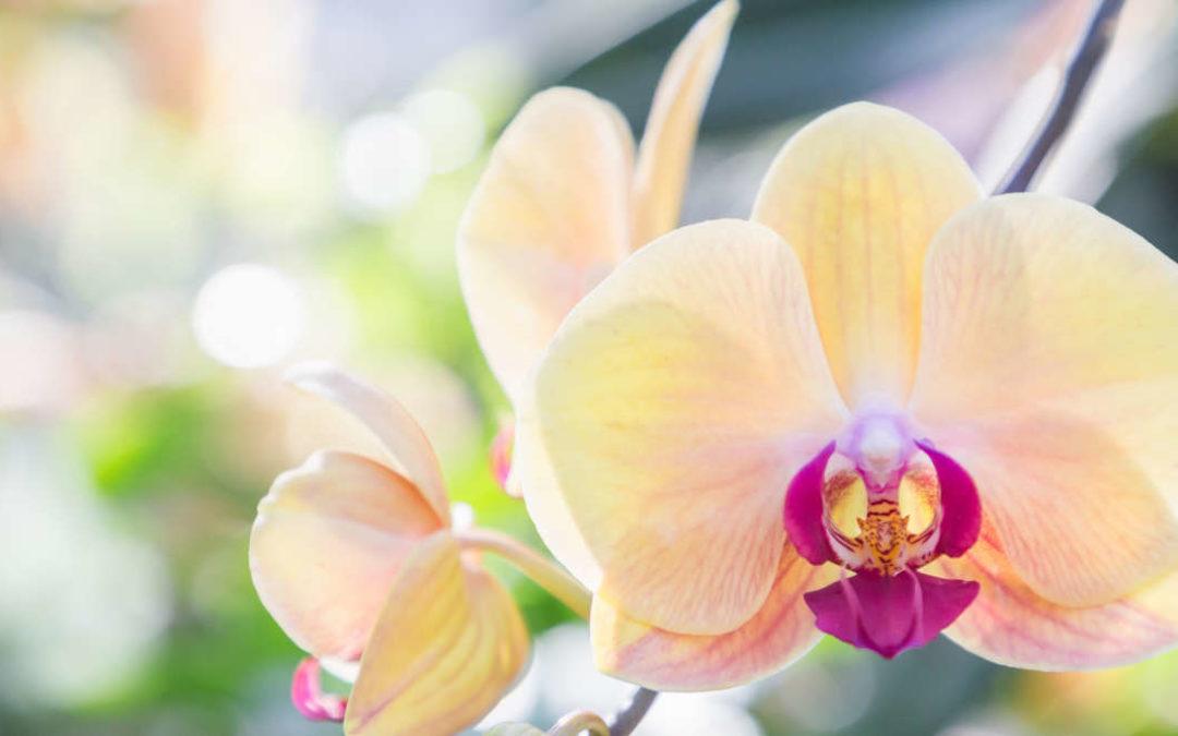 Orchideen – Die Exoten unter den Zimmerpflanzen