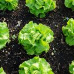Salat pflanzen – die besten Tipps