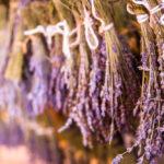 Lavendel –  ein Traum in Lila